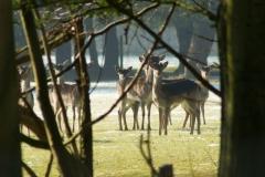 deers2
